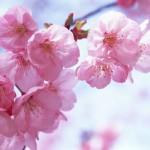 cireș japonez copac poveste, descriere și fotografii