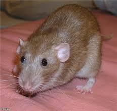 Boli șobolani decorative, animalele mele de companie