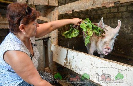 Crescând, păstrarea și reproducție de porci și purcei la sfaturi acasă și clipuri video