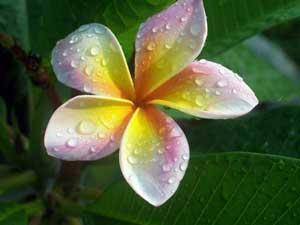 Plumeria Acasă - de îngrijire la domiciliu, fotografii de frangipani și specii de flori plumeria - în creștere